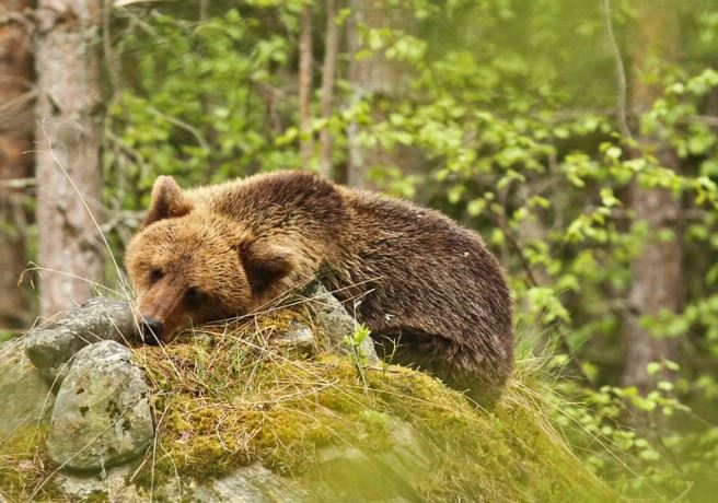 Bear watching from Sweden's southernmost hide