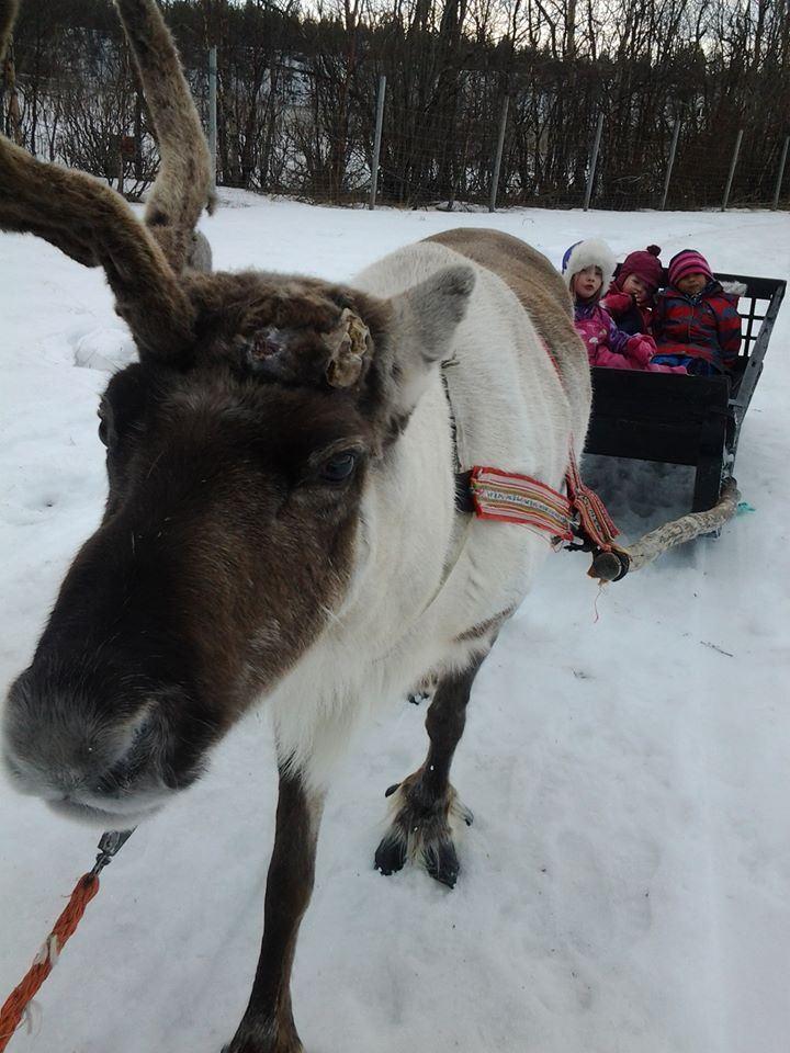 Reinraid med samiske opplevelser