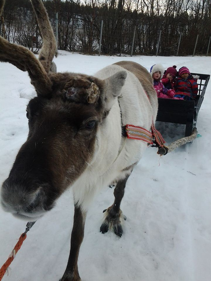 Reindeer sledding and Sami culture in Alta valley at Sorrisniva