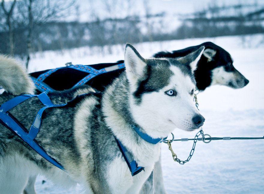 Polardog