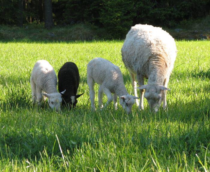 Marskogens lamm