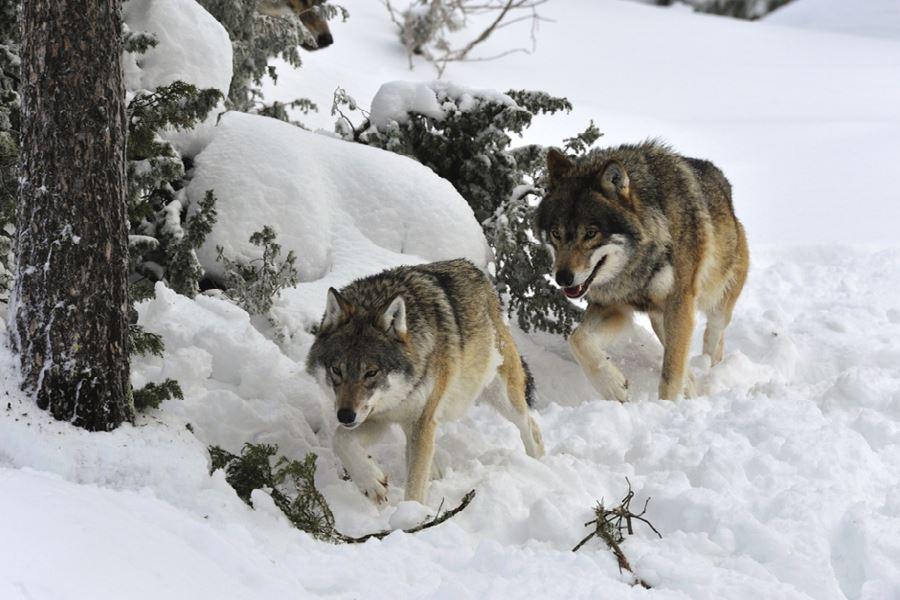 Konferera bland vargar