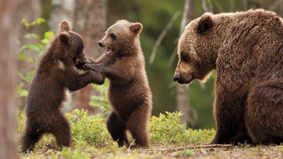 I djurparken finns djur som björn, varg, lo, djärv och många fler