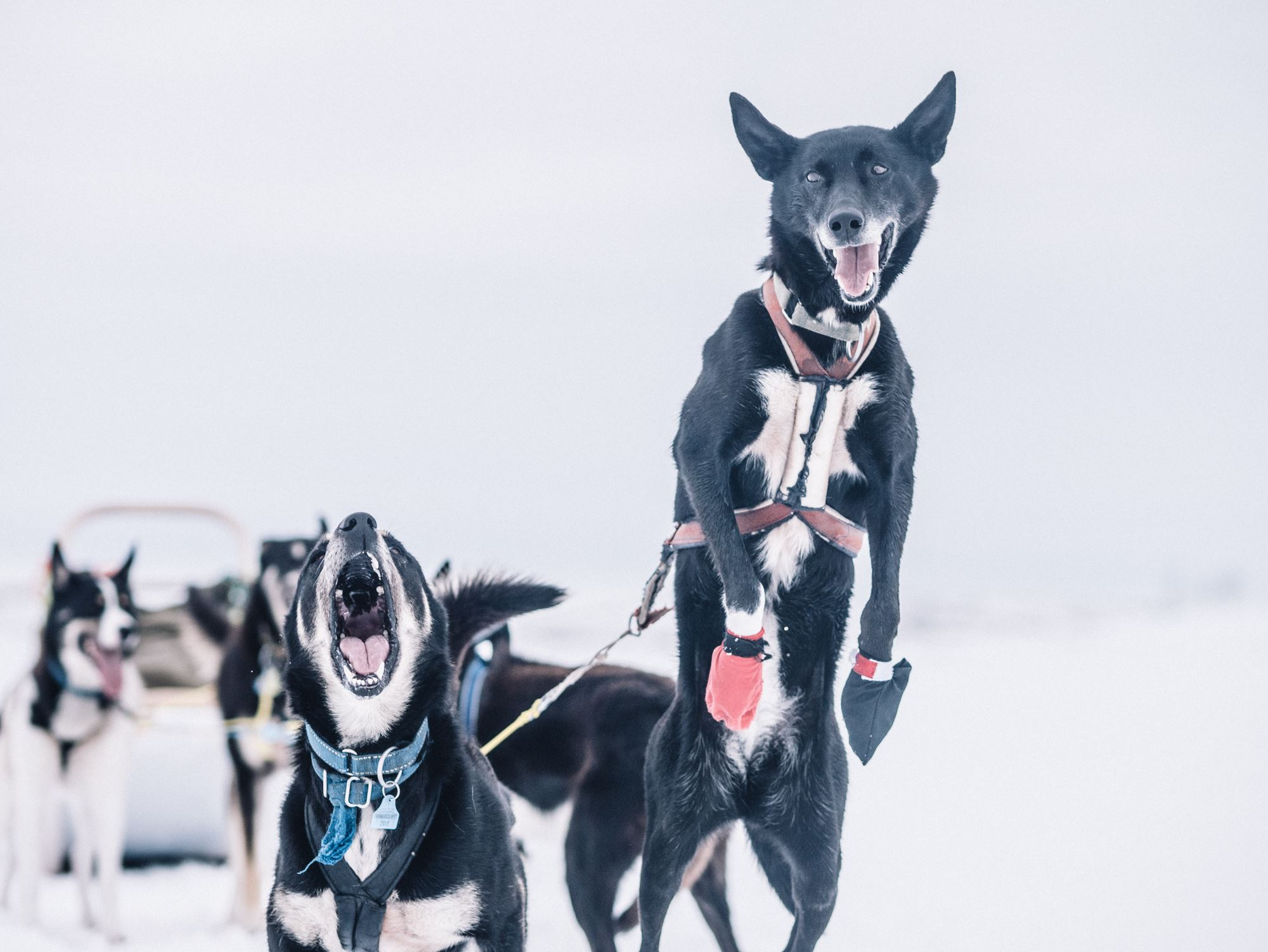 A taste of dog sledding - Trasti & Trine