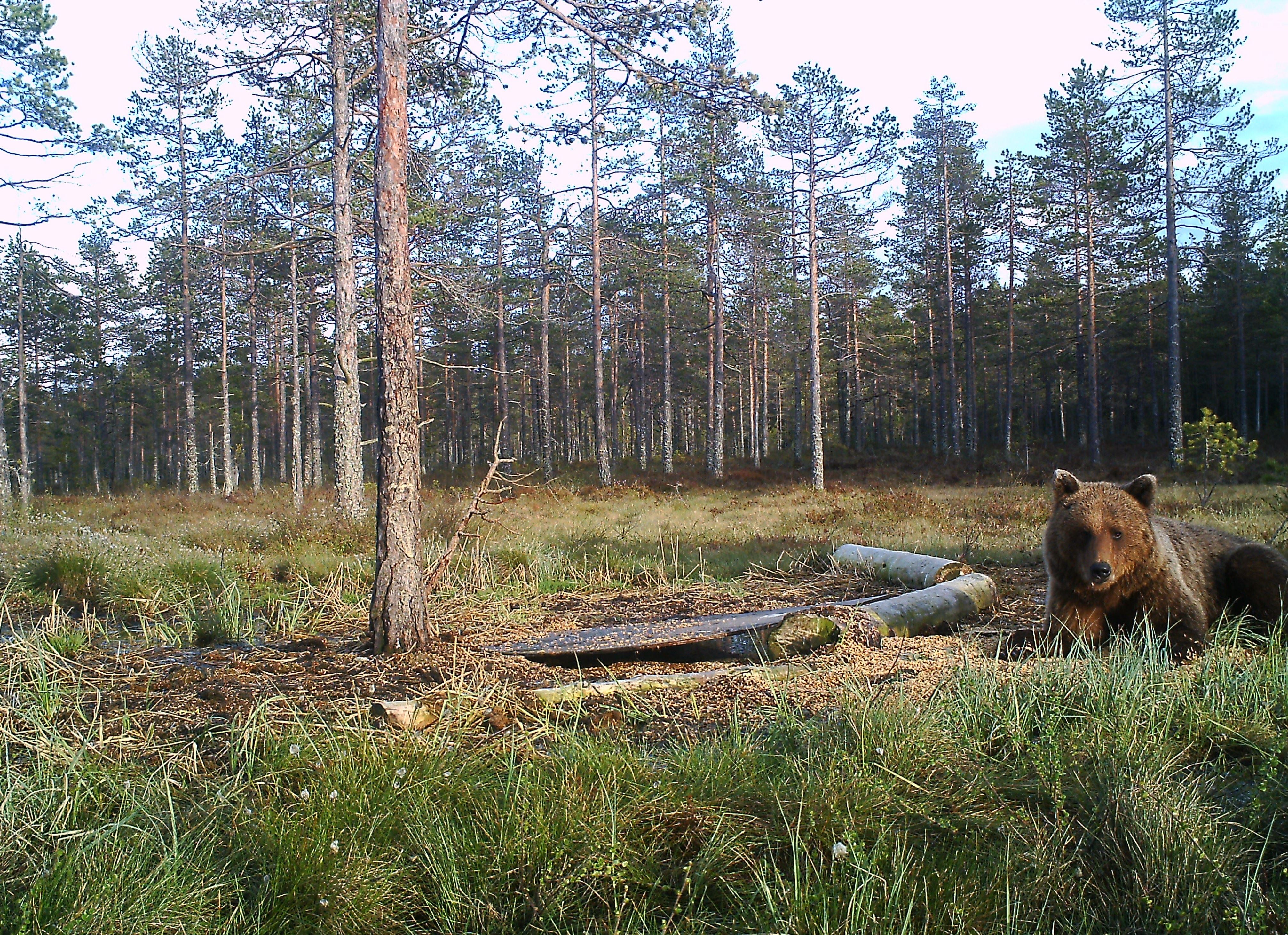 Spännande björnskådning