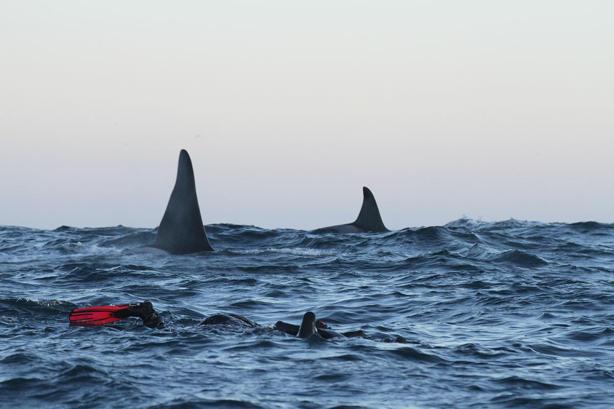 Snorkeling with the orcas from Andenes - Lofoten Opplevelser