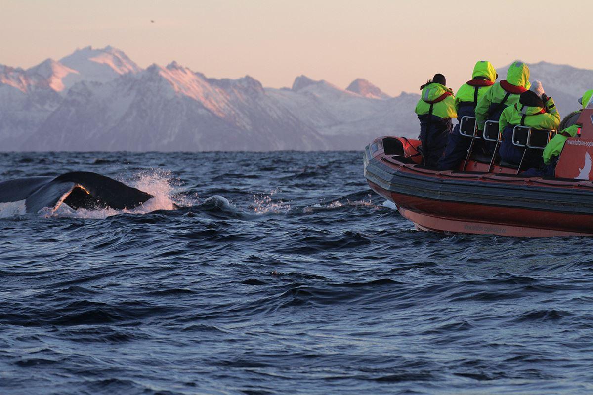 Orca Safari from Andenes - Lofoten Opplevelser