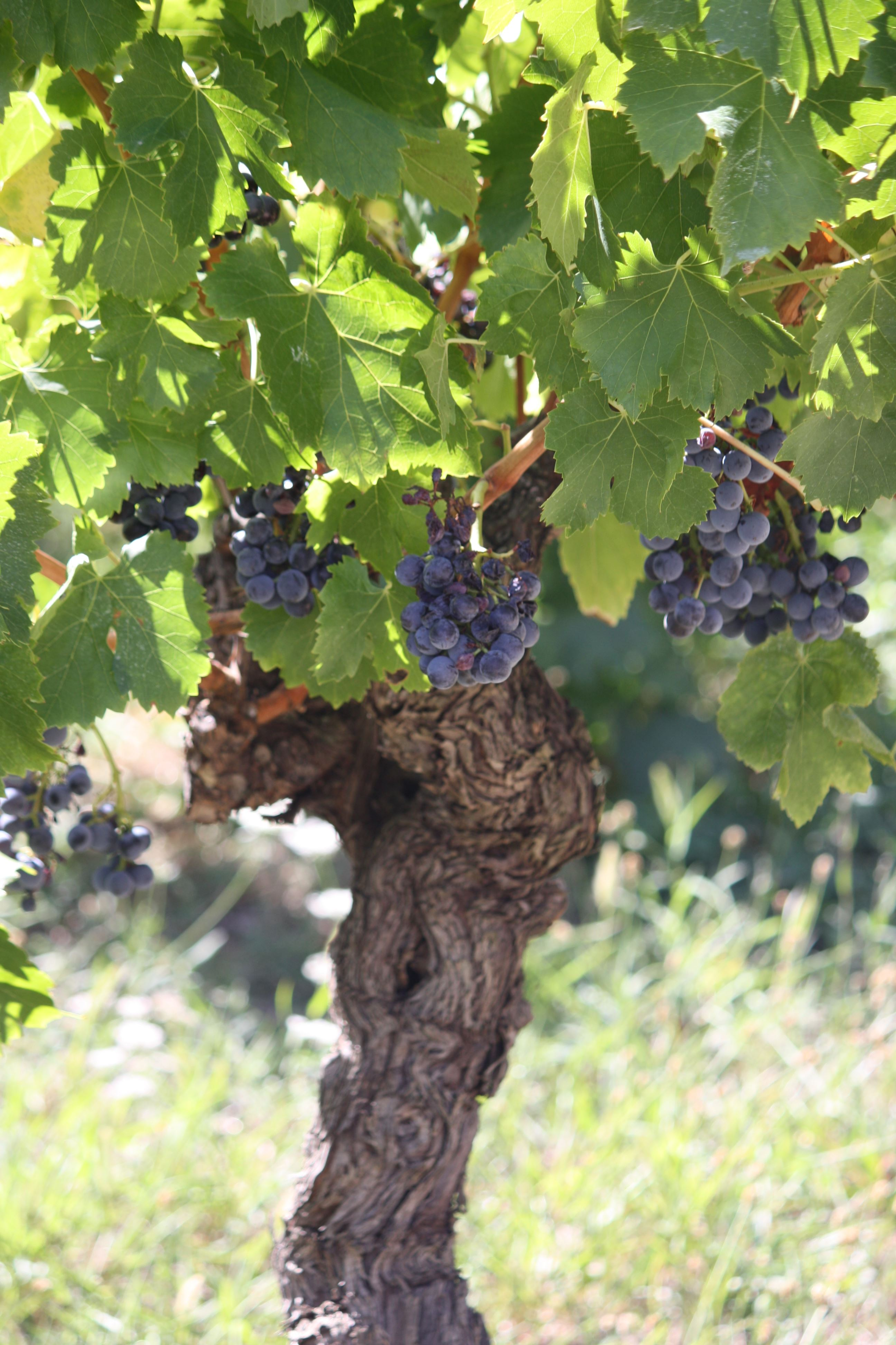 """French guided tour """"vineyard walk"""""""