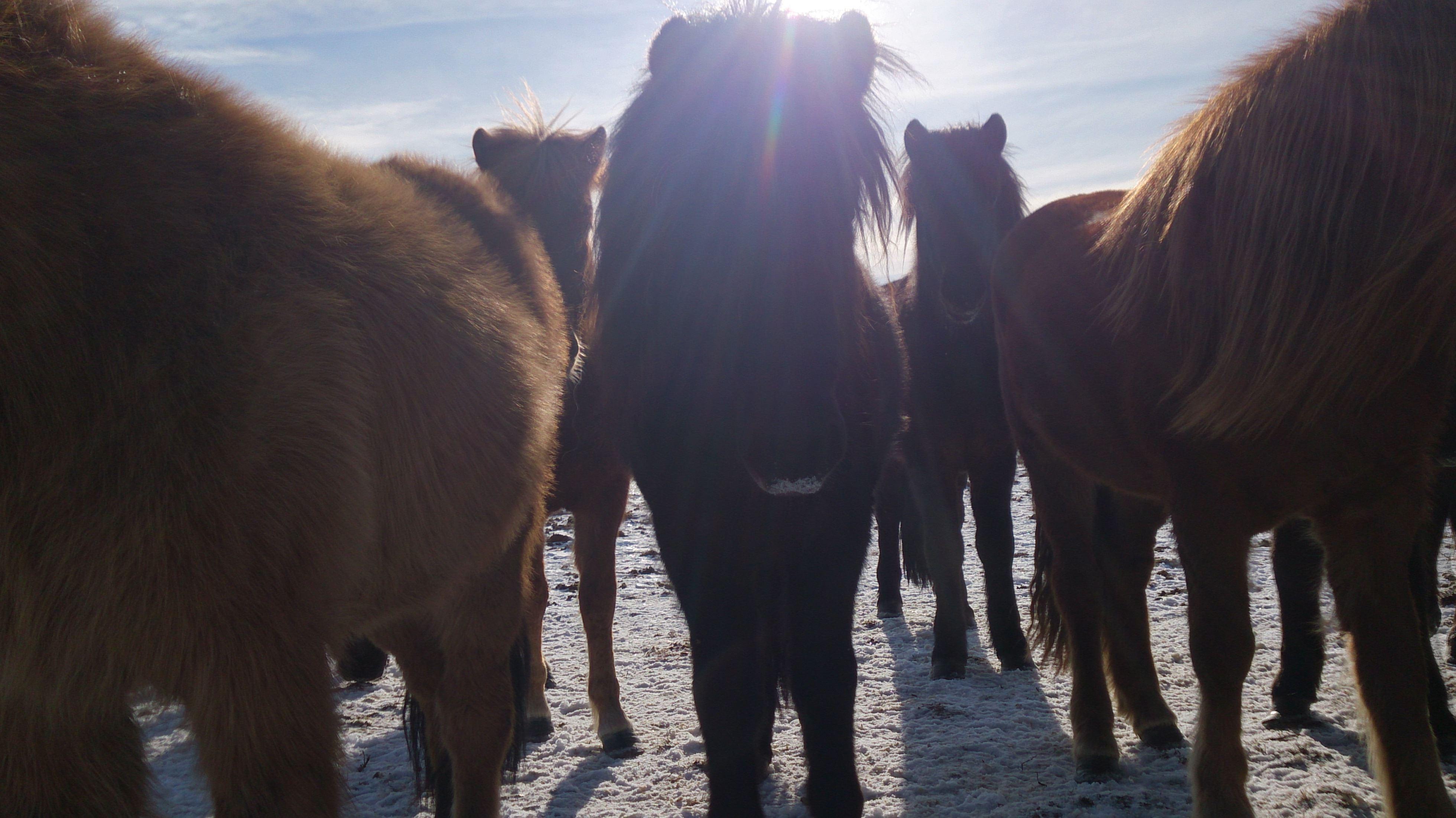 Foto: Sörbygården,  © Copy: Visit Östersund, Icelandic Horseback Riding