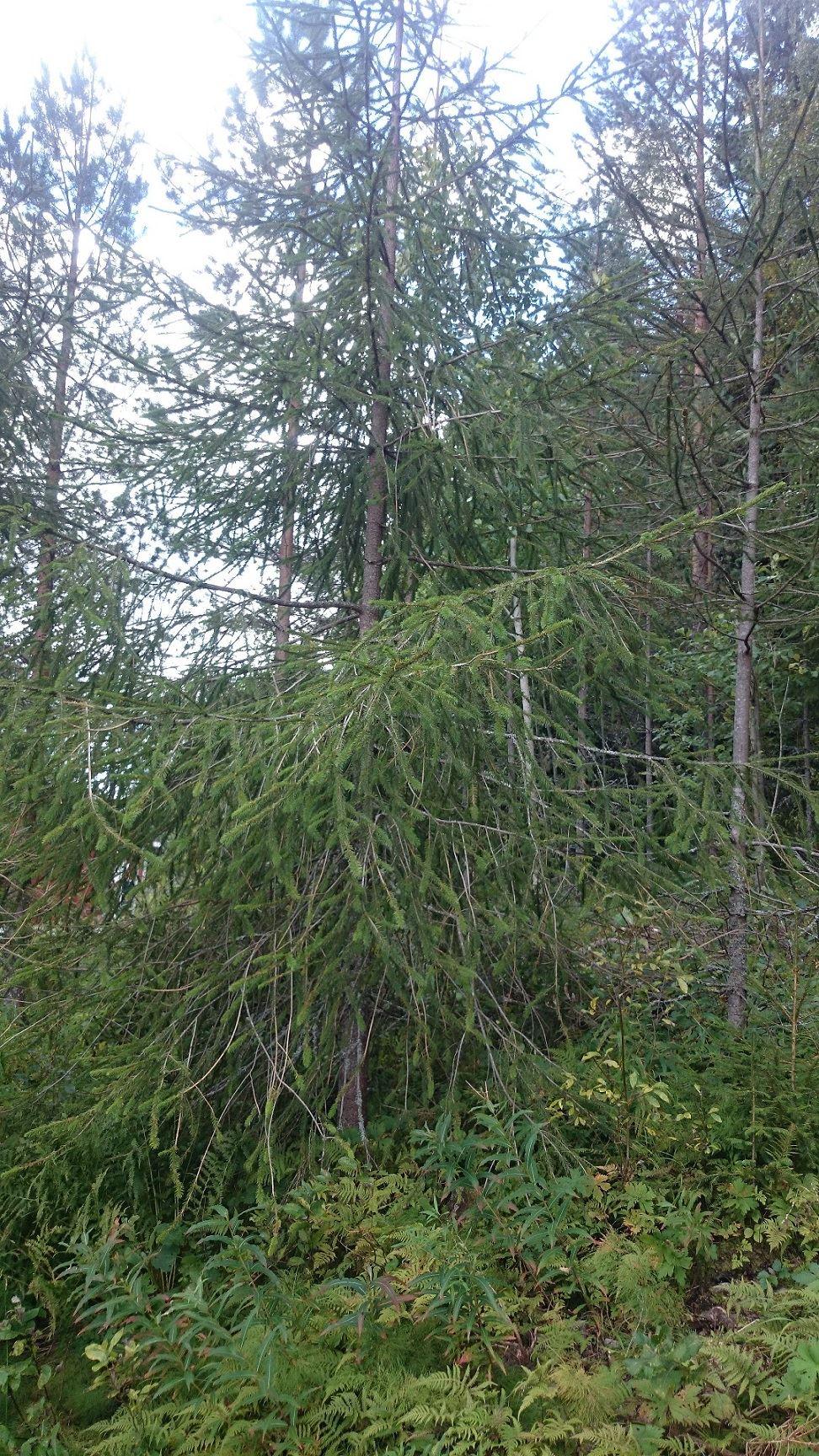 Fern spruces in Hornberga