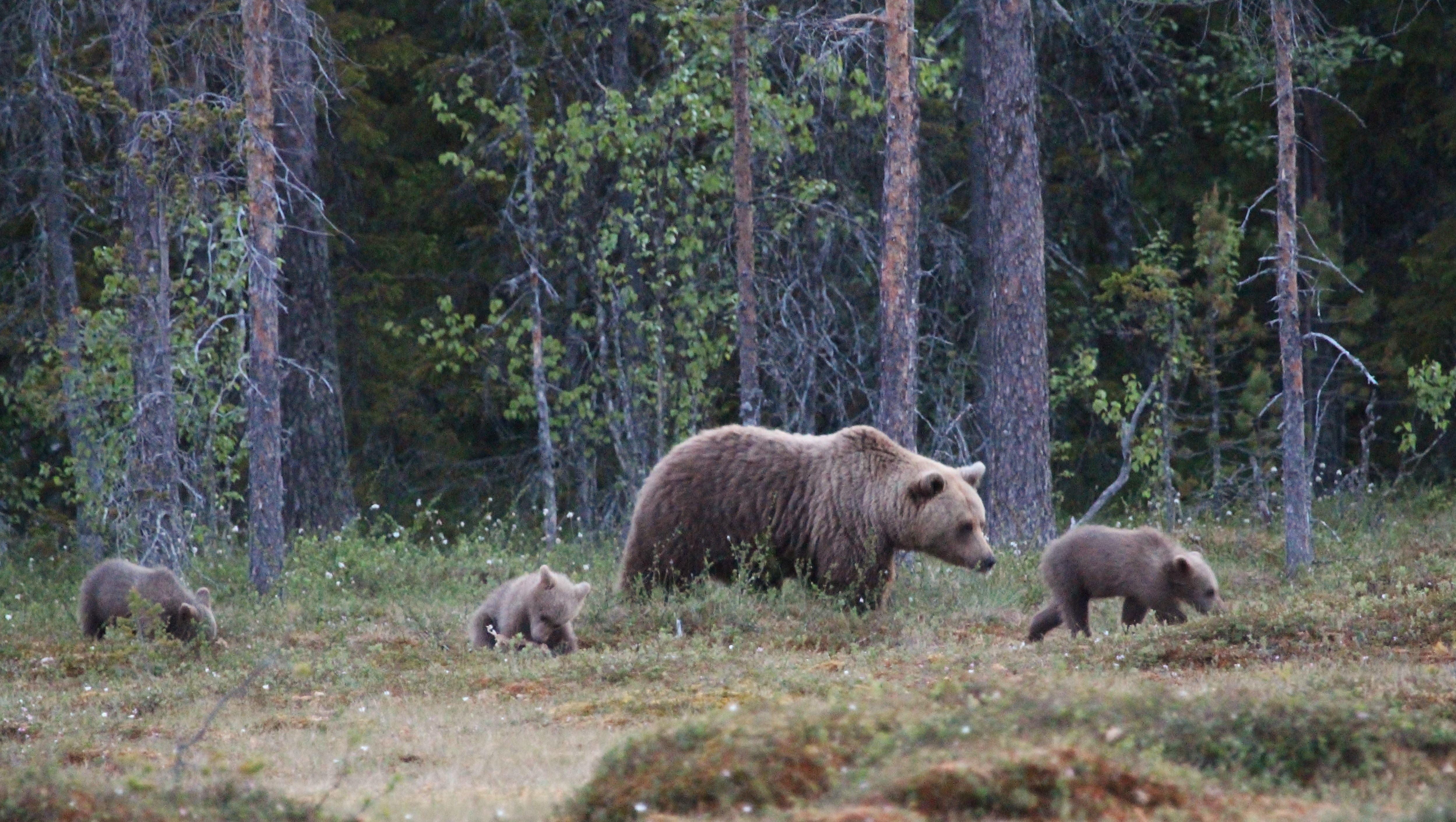 Foto: Wild Jämtland,  © Copy: Wild Jämtland, Björnhona med tre ungar i skogen