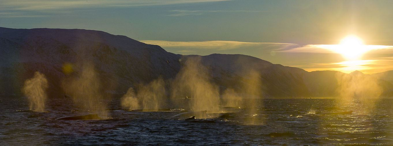 Whale Watching, a rare and dramatic sight - Ersfjordbotn Brygge