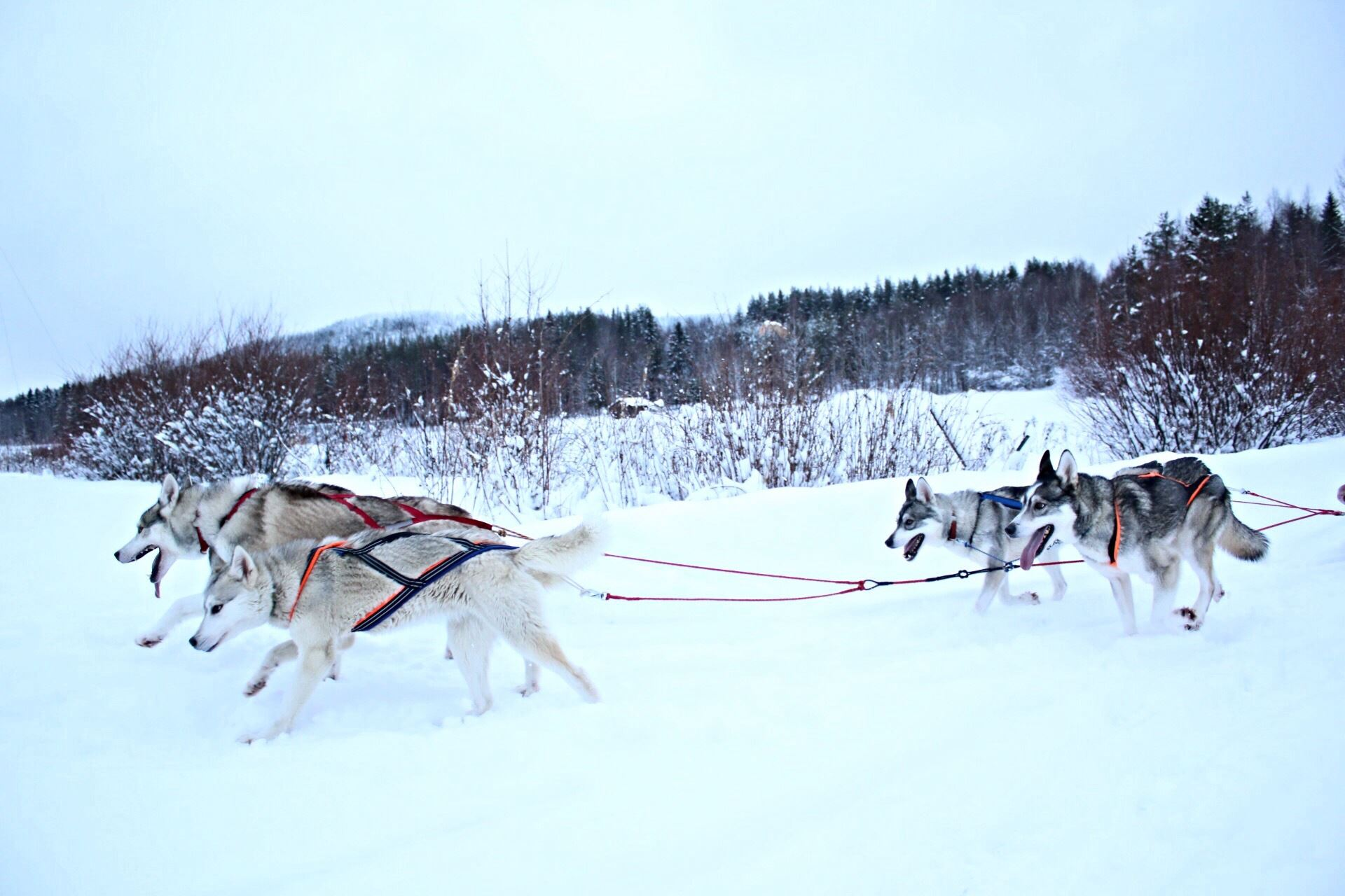 Spruce Island Husky – in Granö