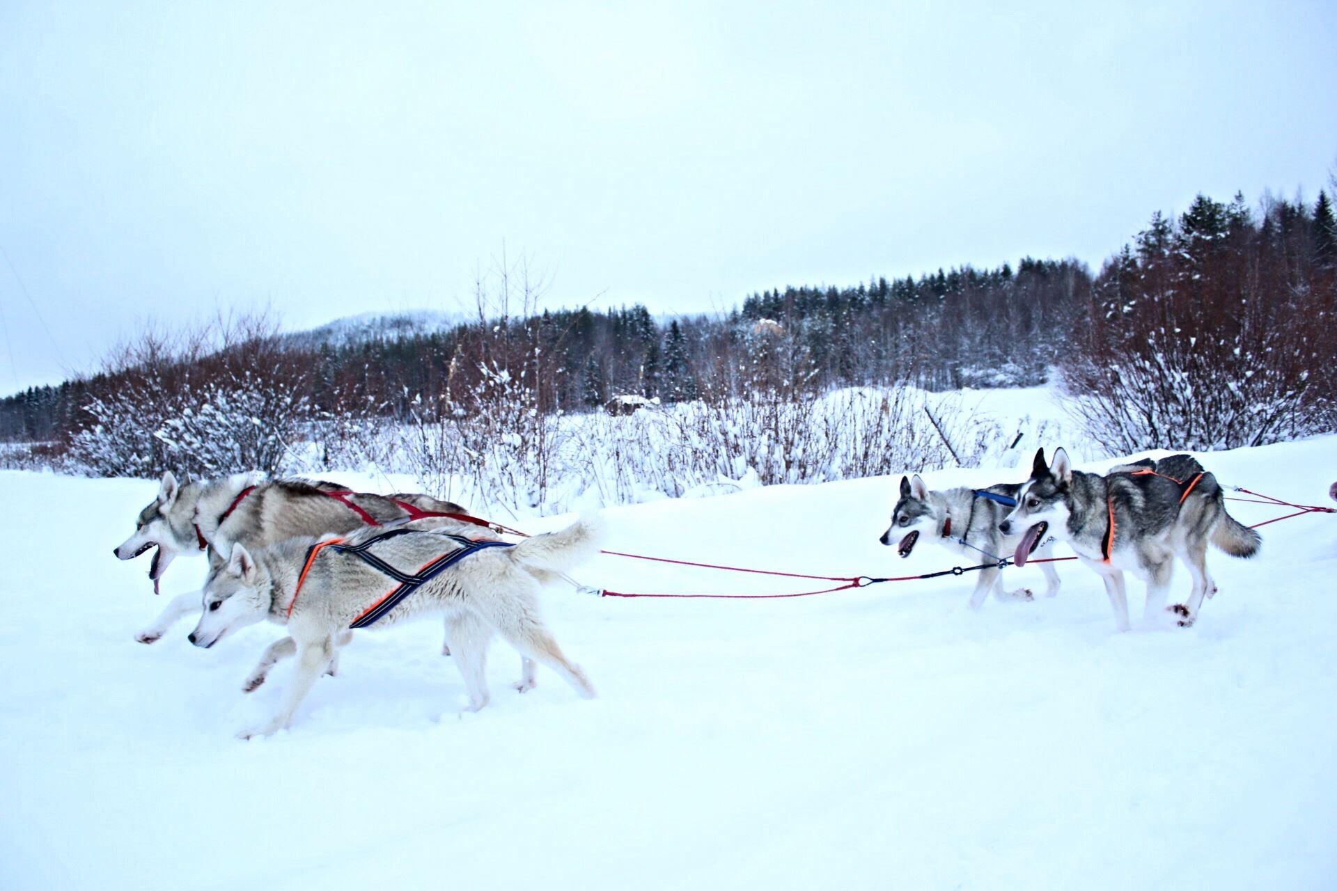 Spruce Island Husky – i Granö