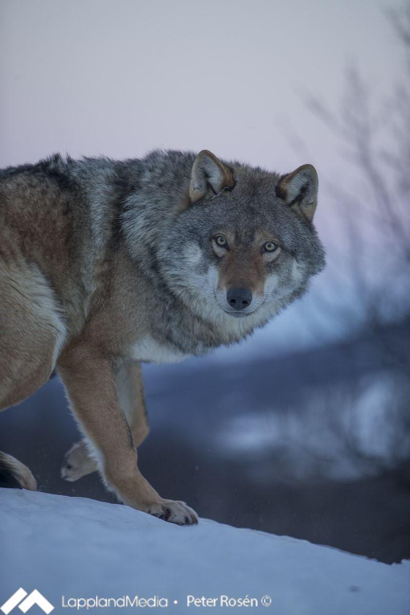 Peter Rosen - Lapland Media,  © Peter Rosen - Lapland Media, WolfLodge - Polar Park
