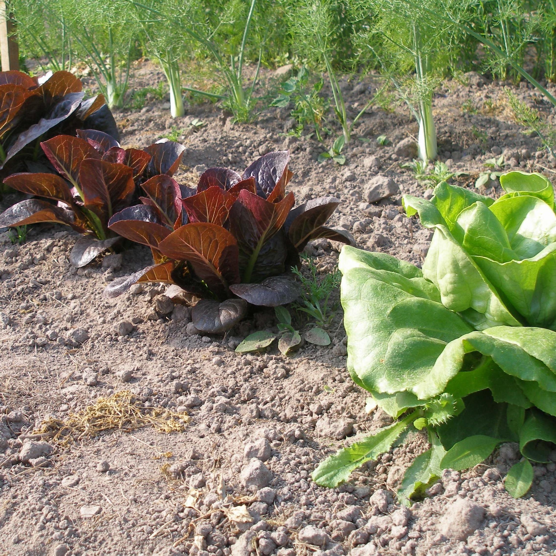 Kristina Ohls grönsaker