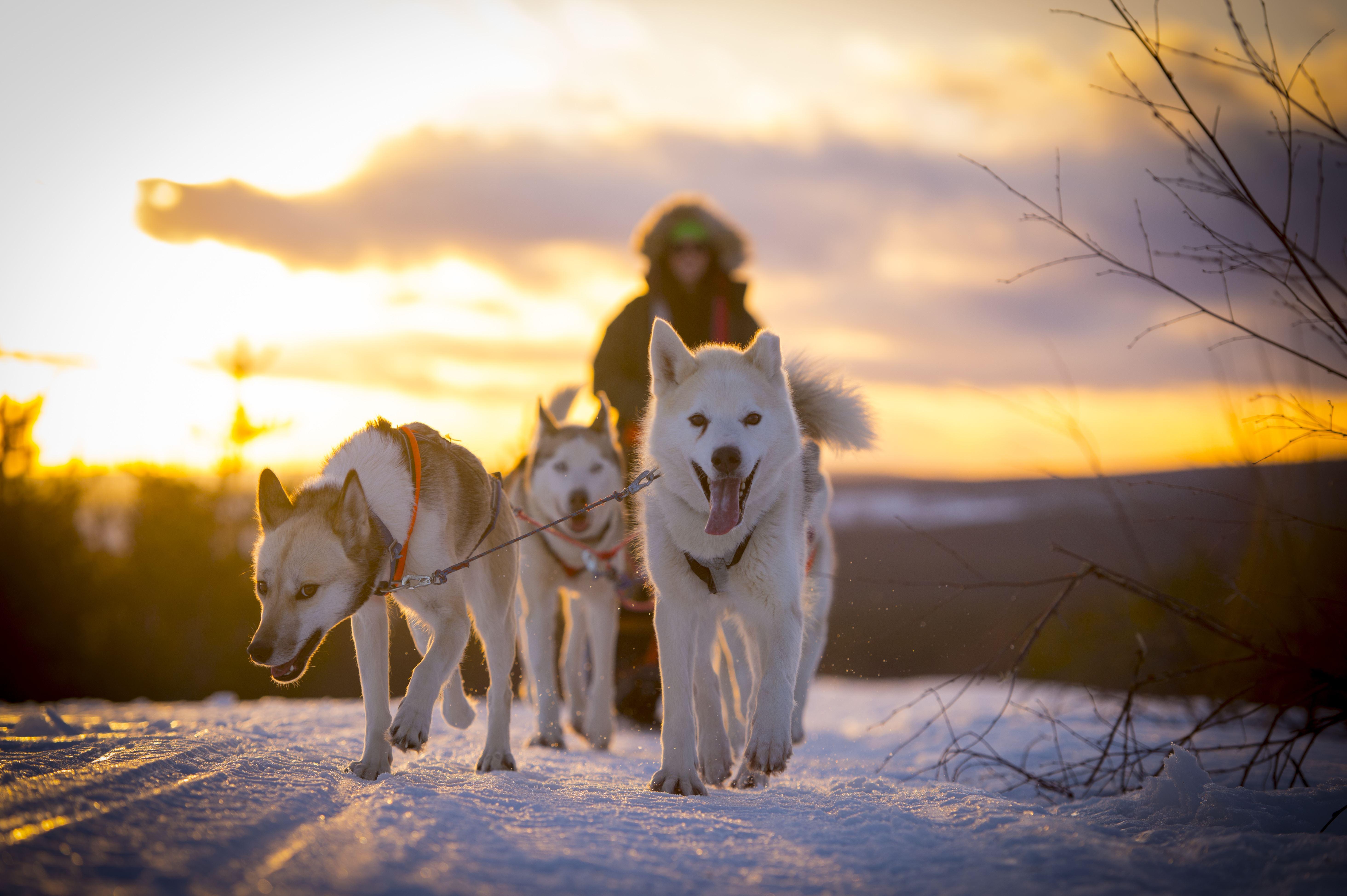 Åk hundspann i Granö