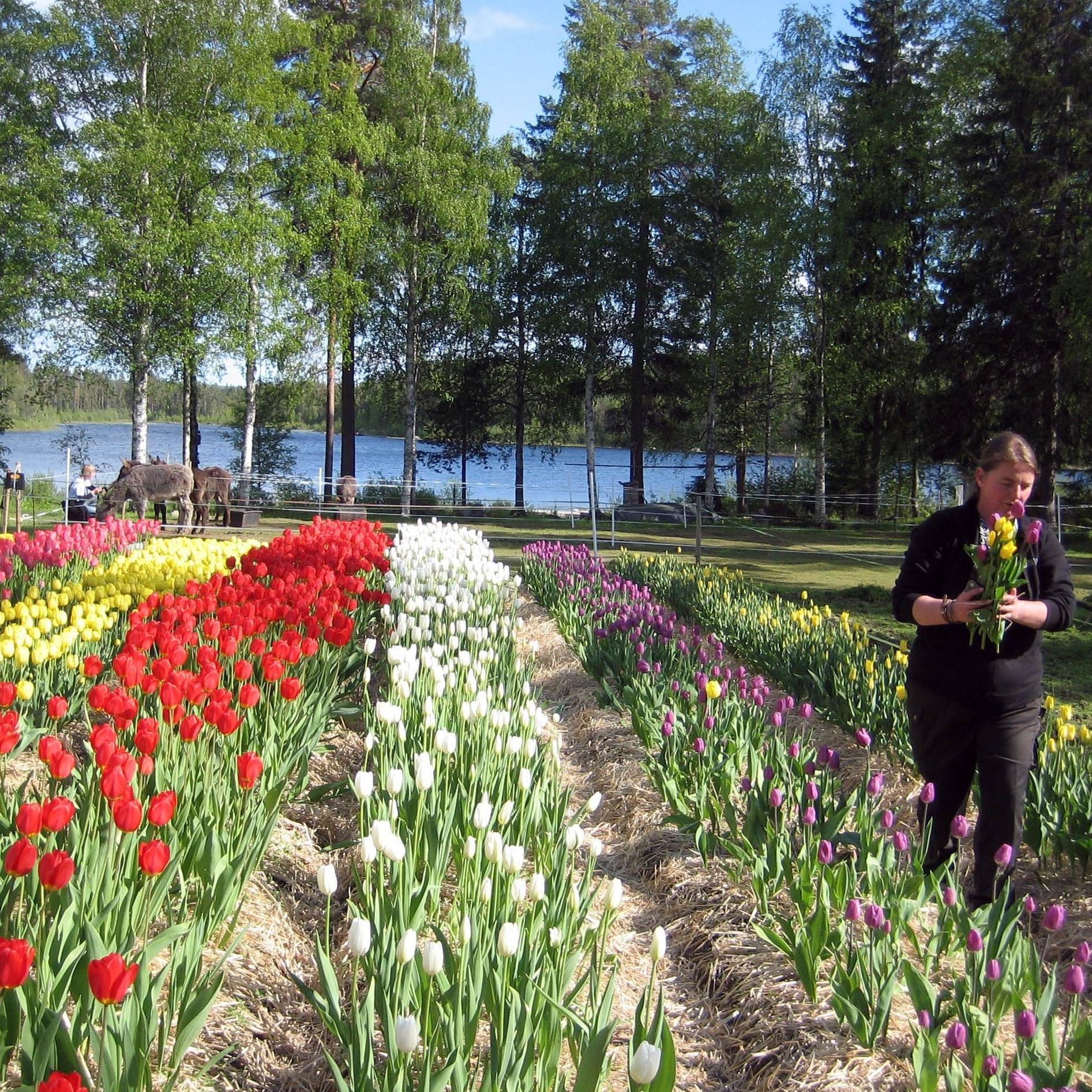 Norrlands Tulpanfestival