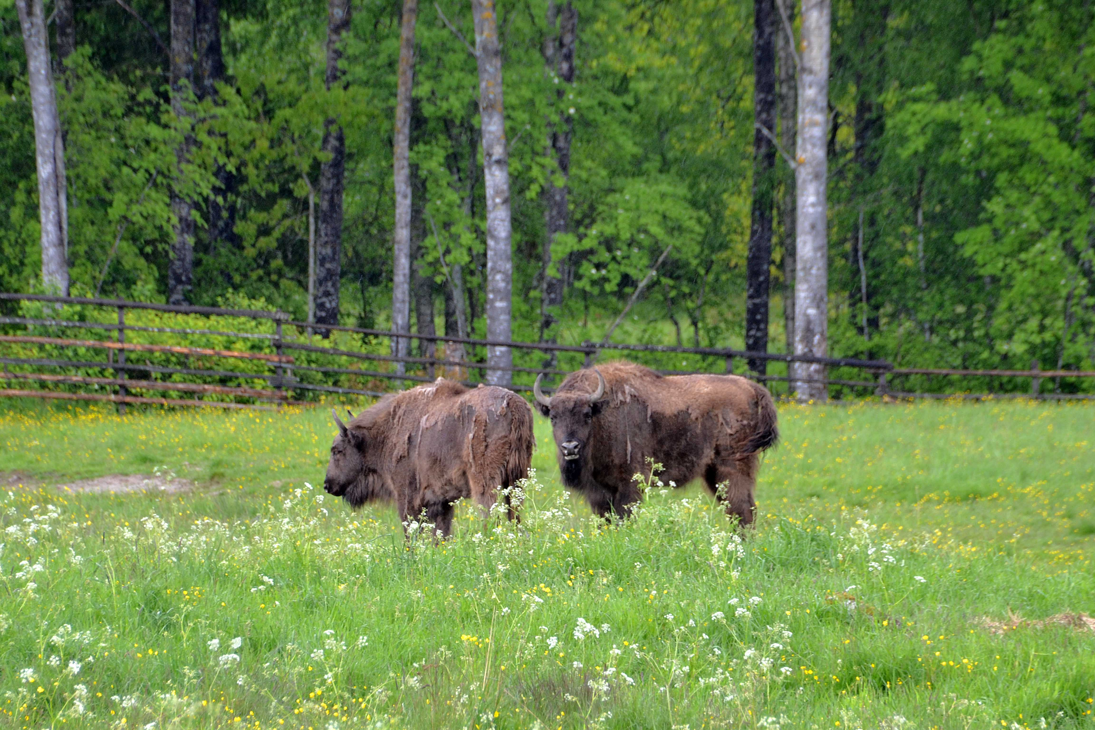 Avesta Bison Park