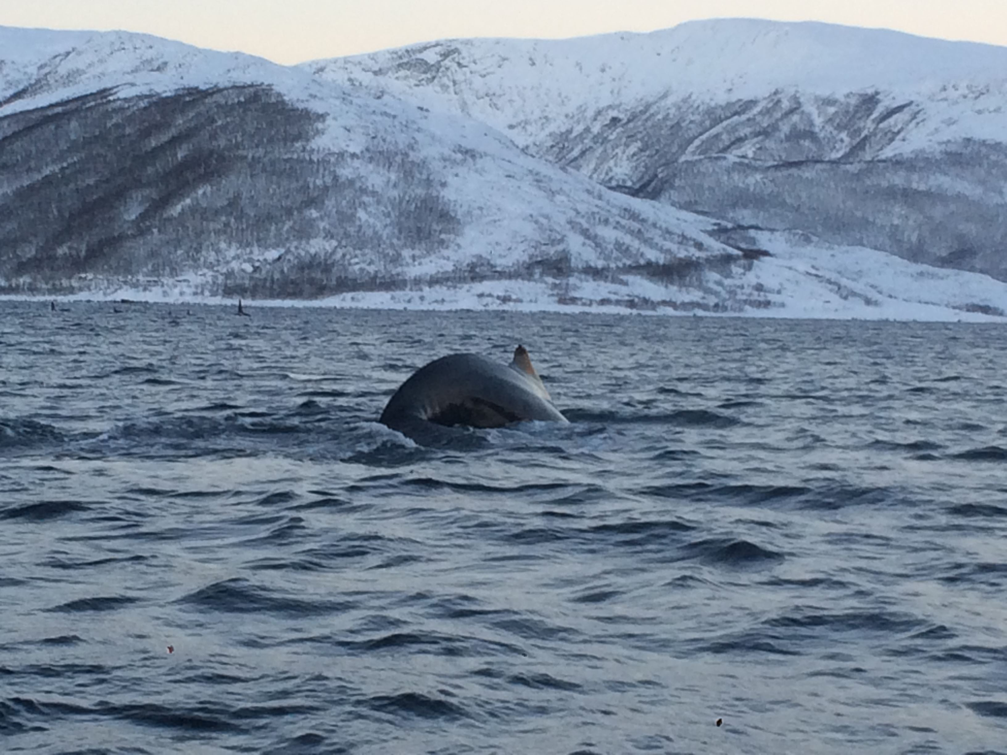 Whale and nature safari - with transfer from Honningsvåg if required