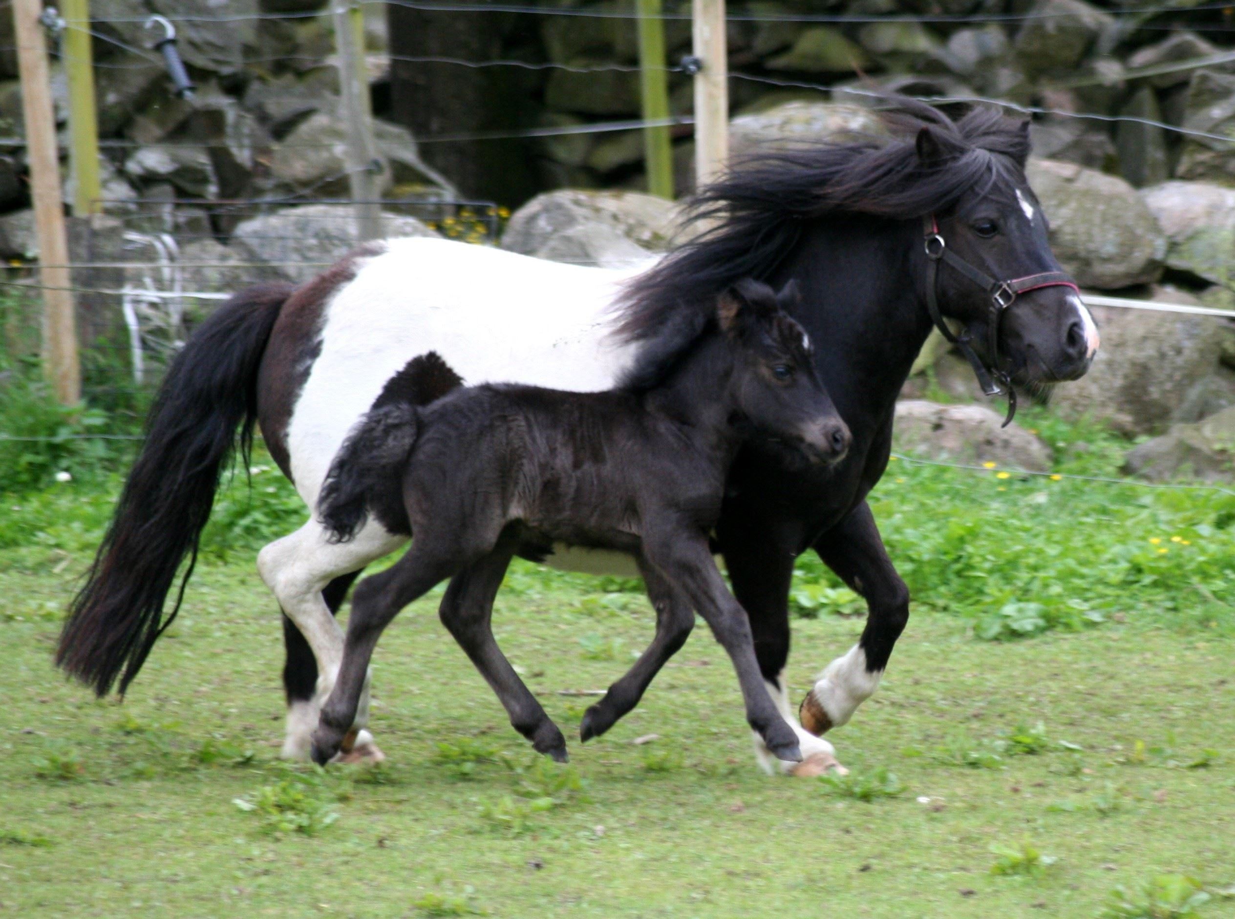 ponnyskola, turridning
