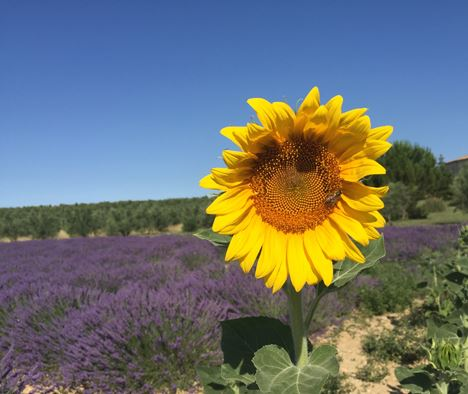 Tour Lavande à Valensole, Moustiers, Verdon et Occitane