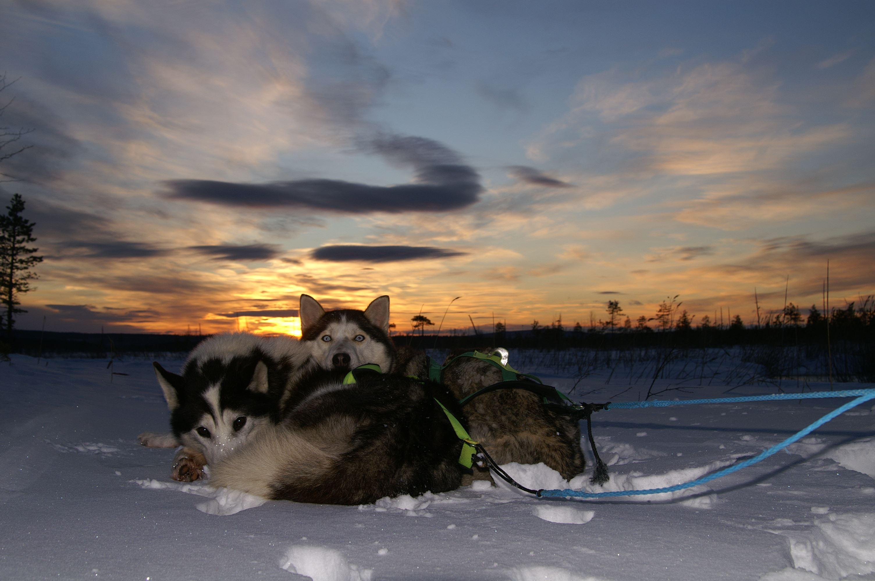 Hundspann med Aurora Borealis Adventures