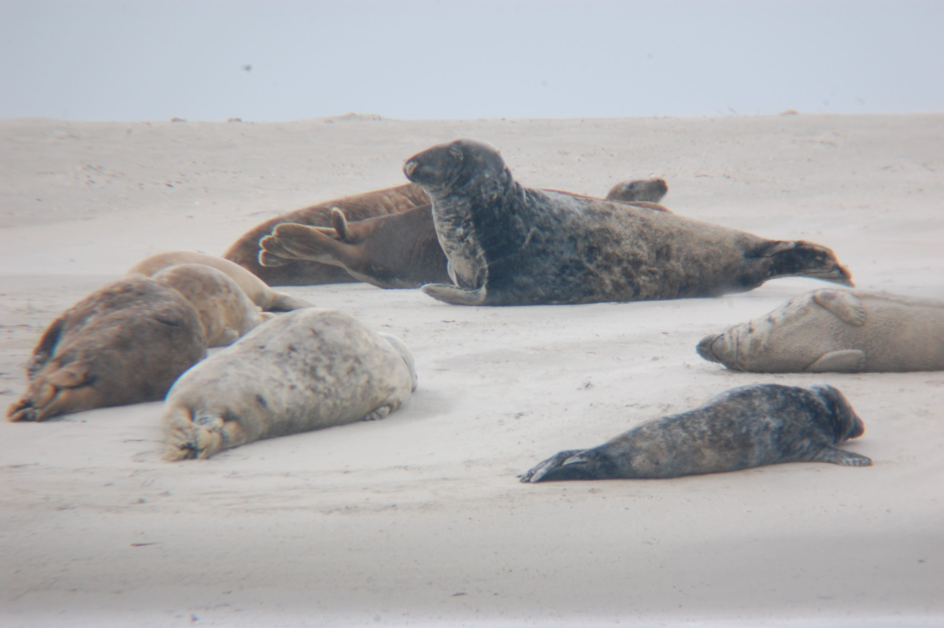 Seals and Champagne with Club Fanø