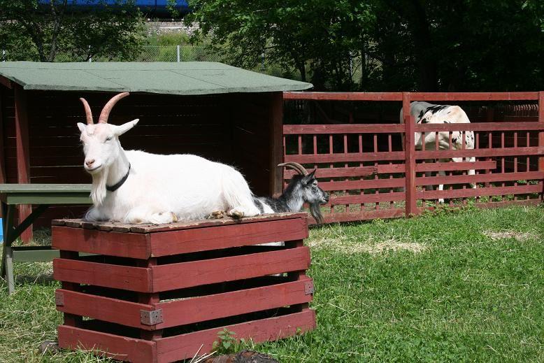 Yli-Marola 4H Farm Animal Yard