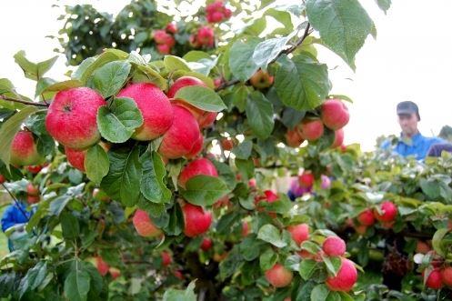 Jaakkolan omenatila