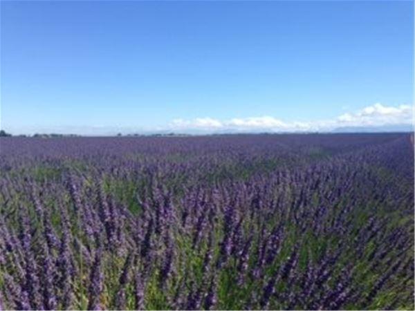 Special Lavender Tour F1 - Valensole/Gordes /Abbaye de Sénanque (photo stop)/Roussillon - Provence Travel