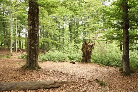 Släthult beech forest