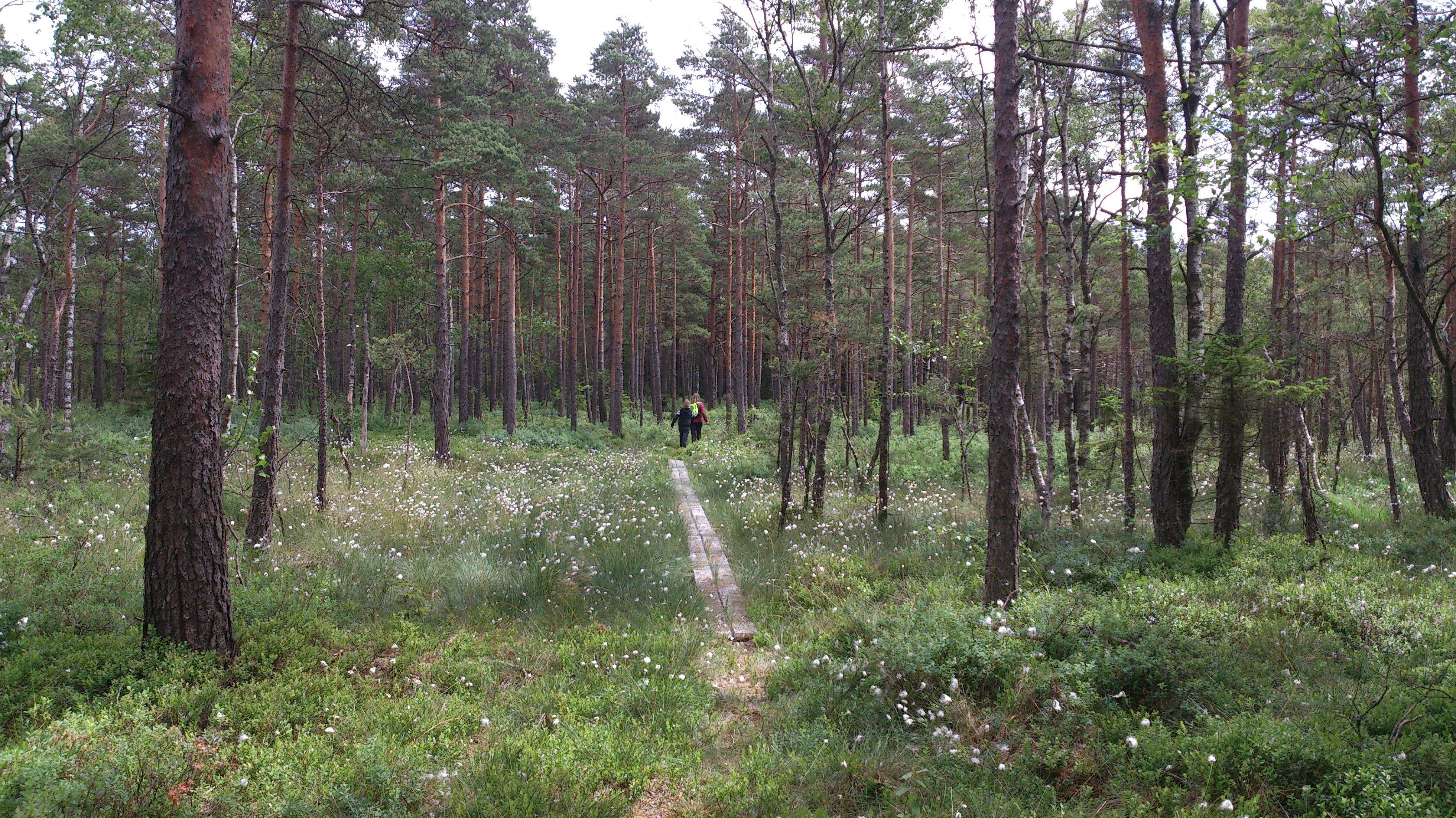 Vandra i Årshultsmyrens naturreservat