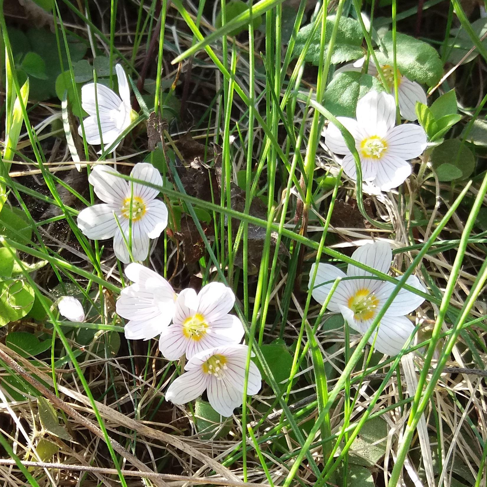 Läskande harsyra i blom
