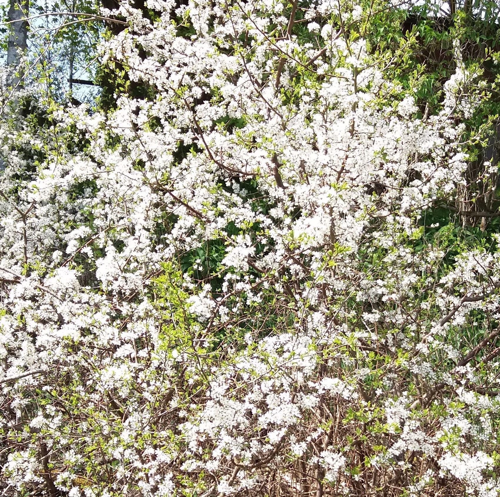 Blommande slånbuske