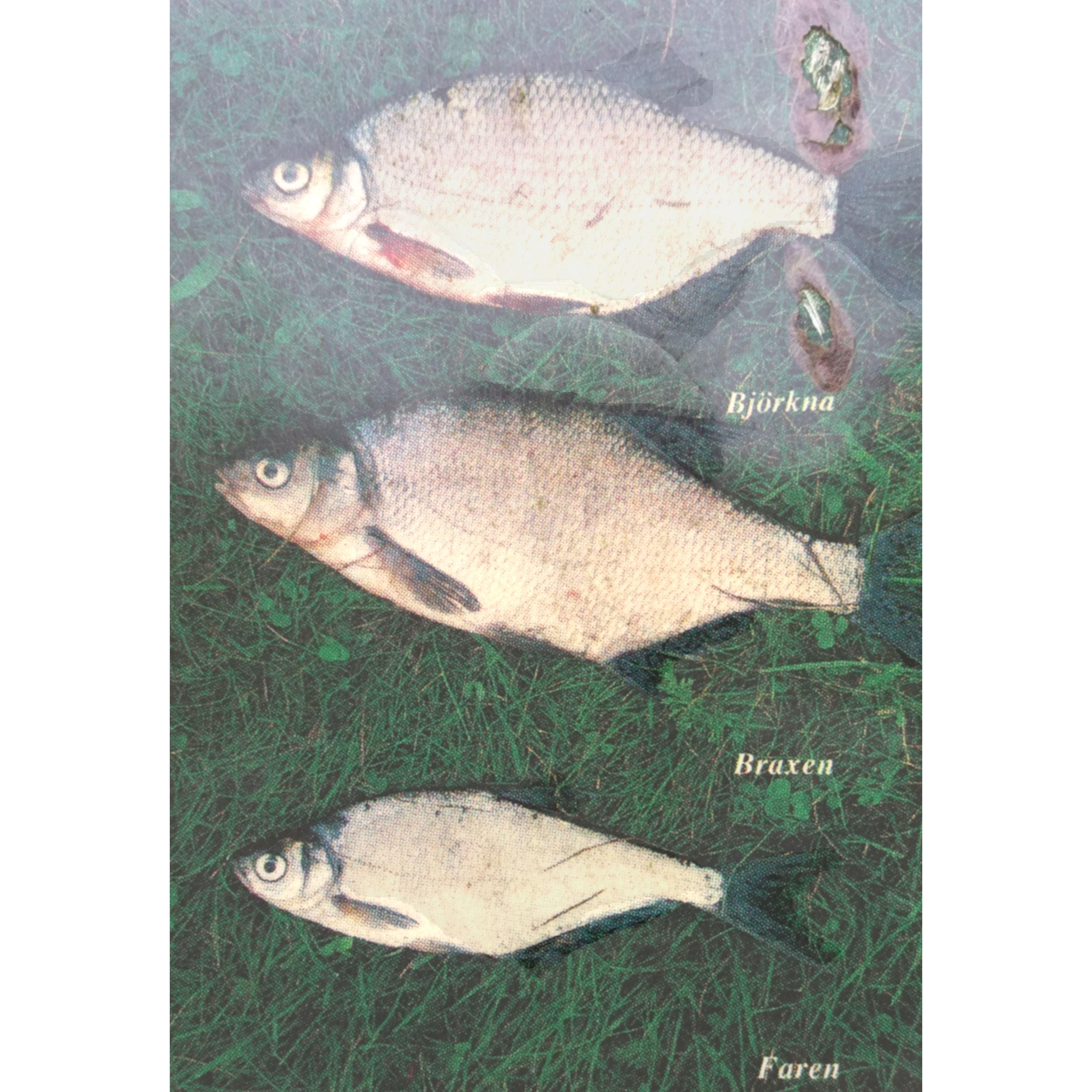 tre lätt förväxlade fiskar