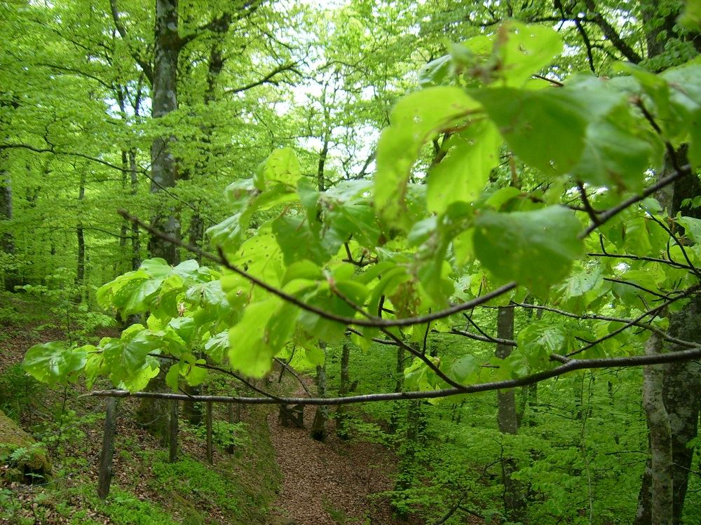 Mattarp beech forest