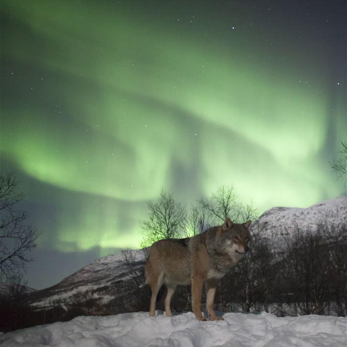 polar park entrance fee northern lights nature bardu visit narvik