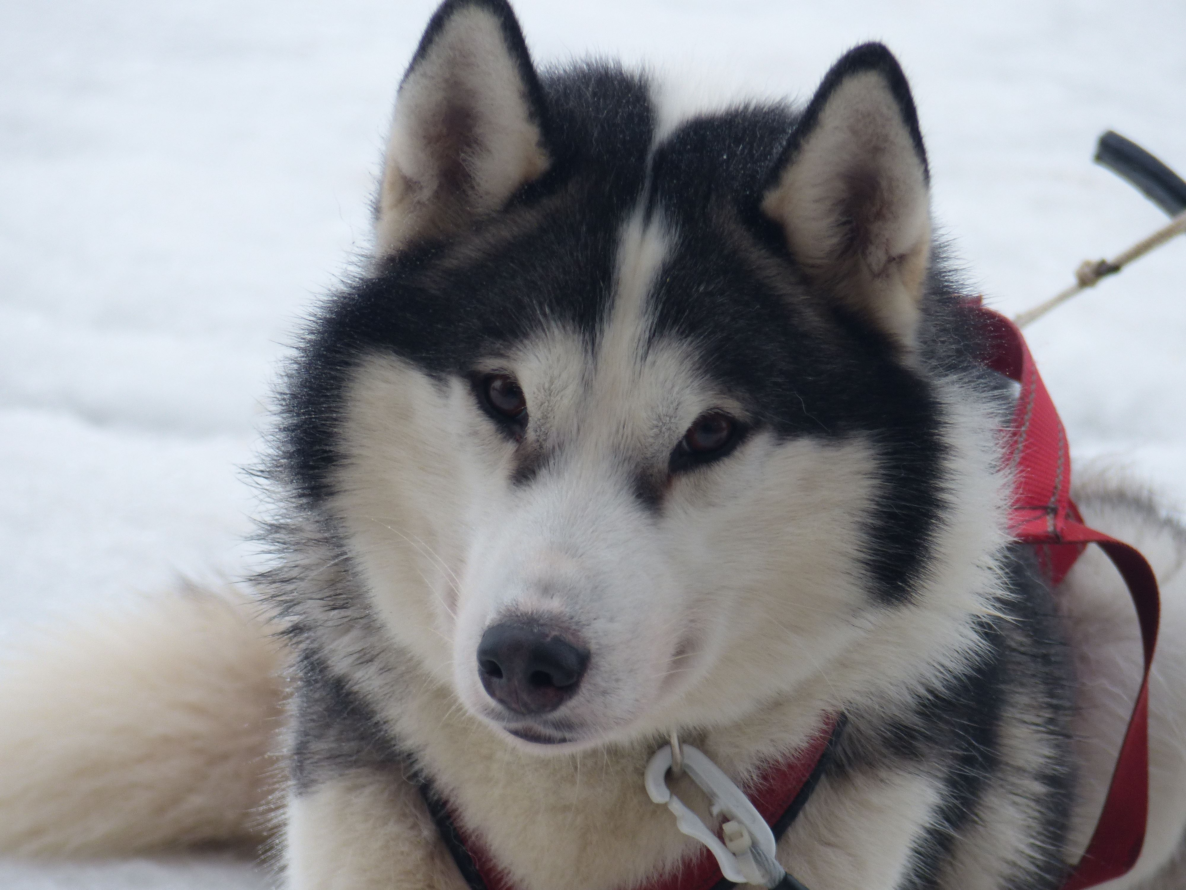 Hundspann med Aurora Borealis