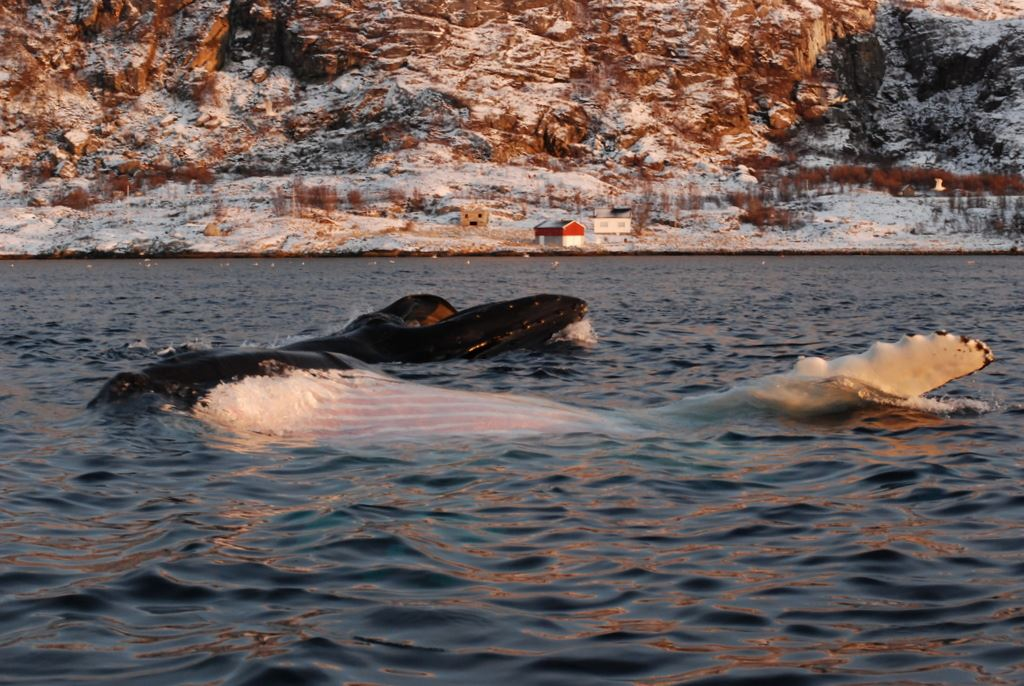 Mario Acquarone,  © 69Nord, 5 days and 6 nights whale watching & Northern Lights trip from Kvaløya with a 75' sailboat - 69Nord Sommarøy Outdoor Center