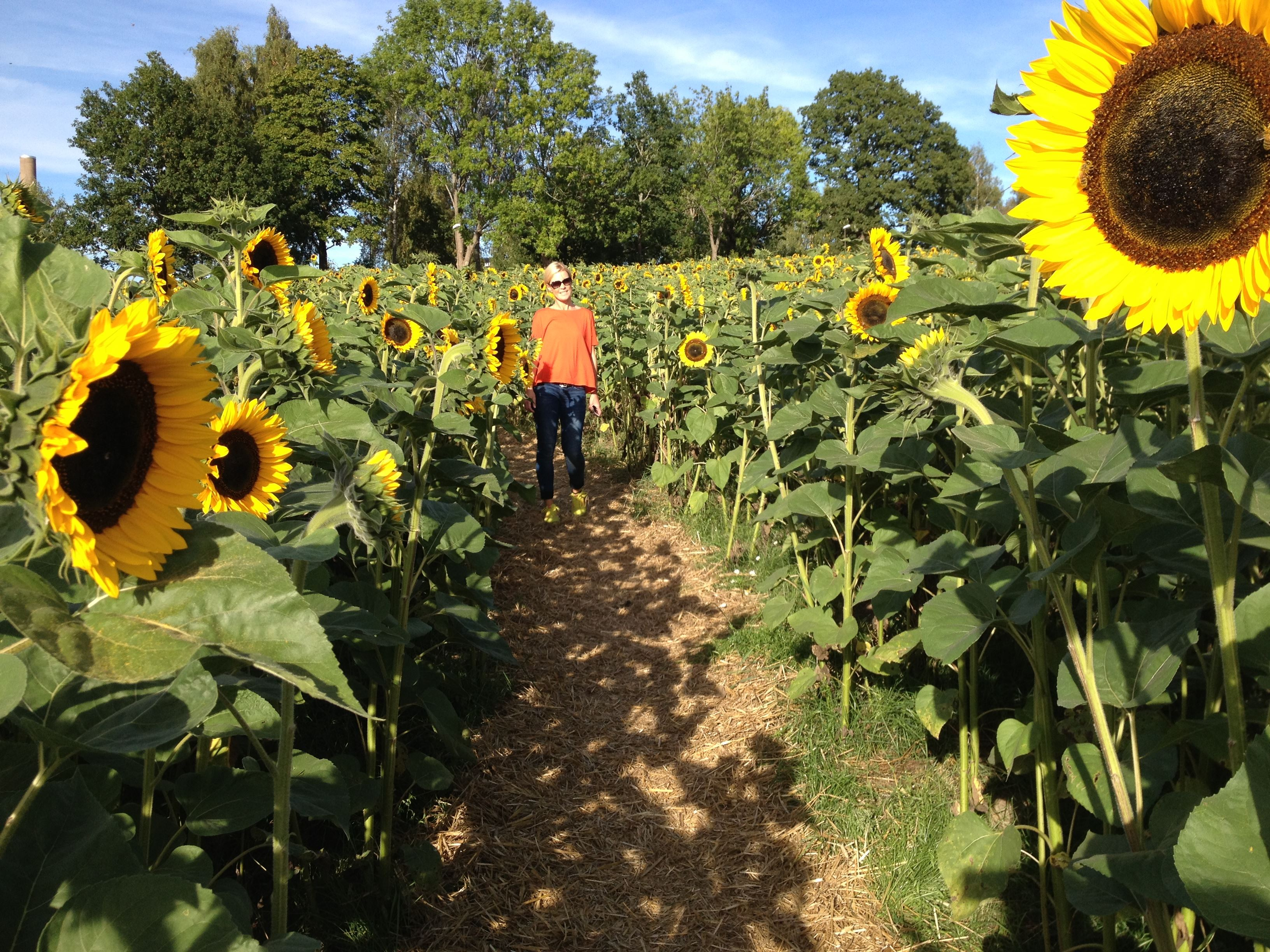 The sunflower field in Växjö