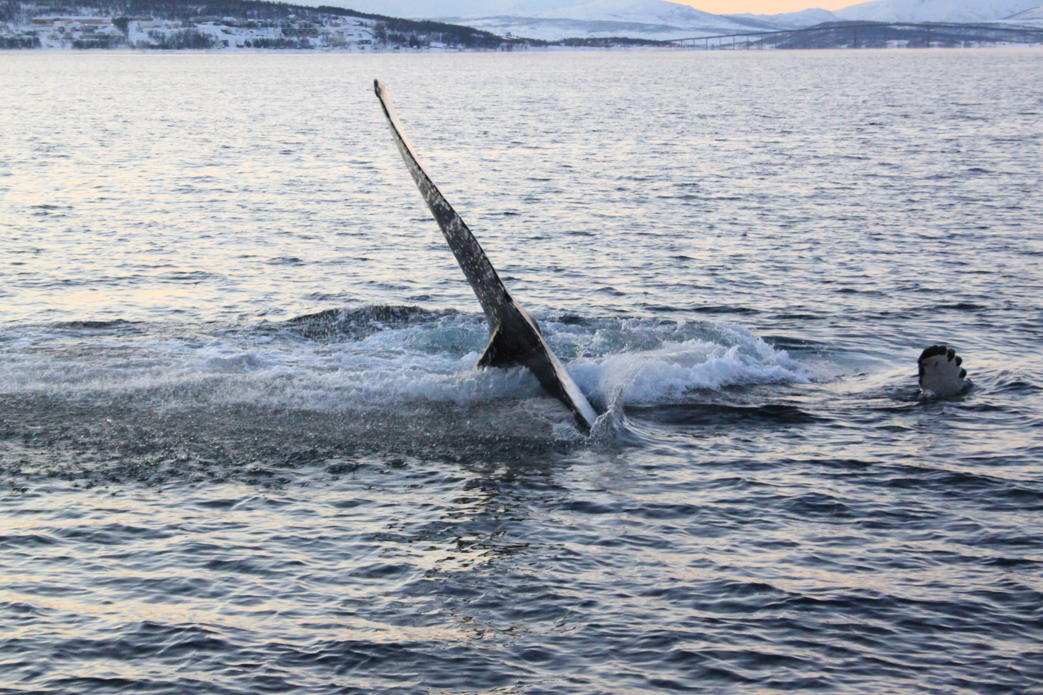 Polar Whale Safari from Tromsø by boat