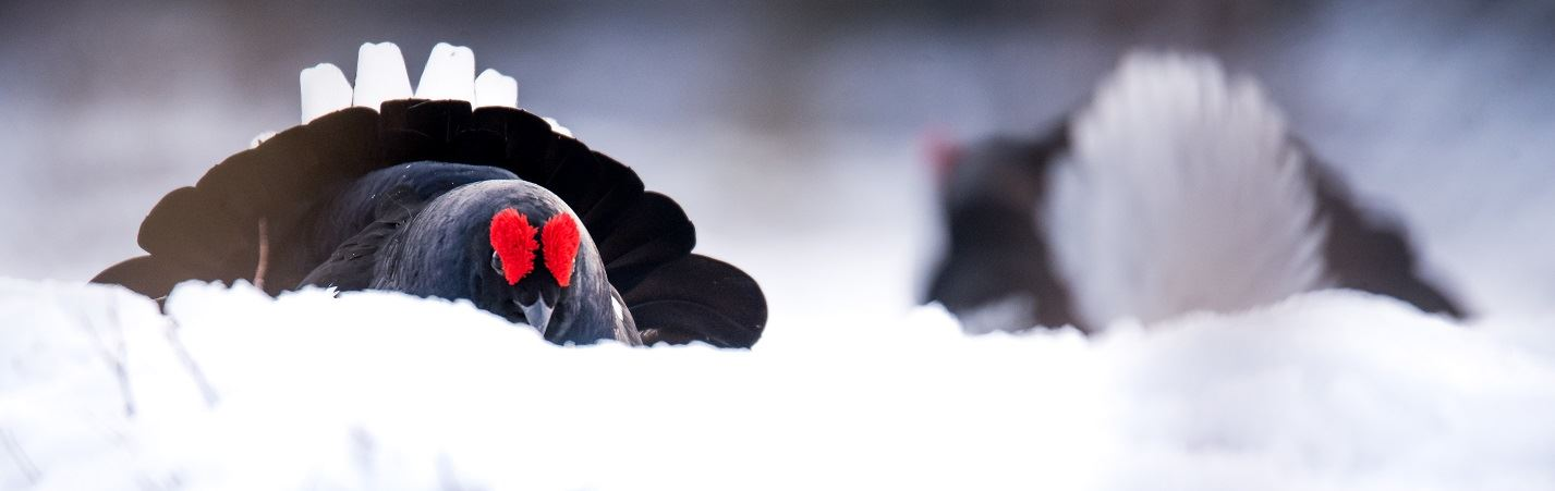 Black grouse display