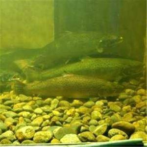 Salmon Aquarium in Bergeforsen
