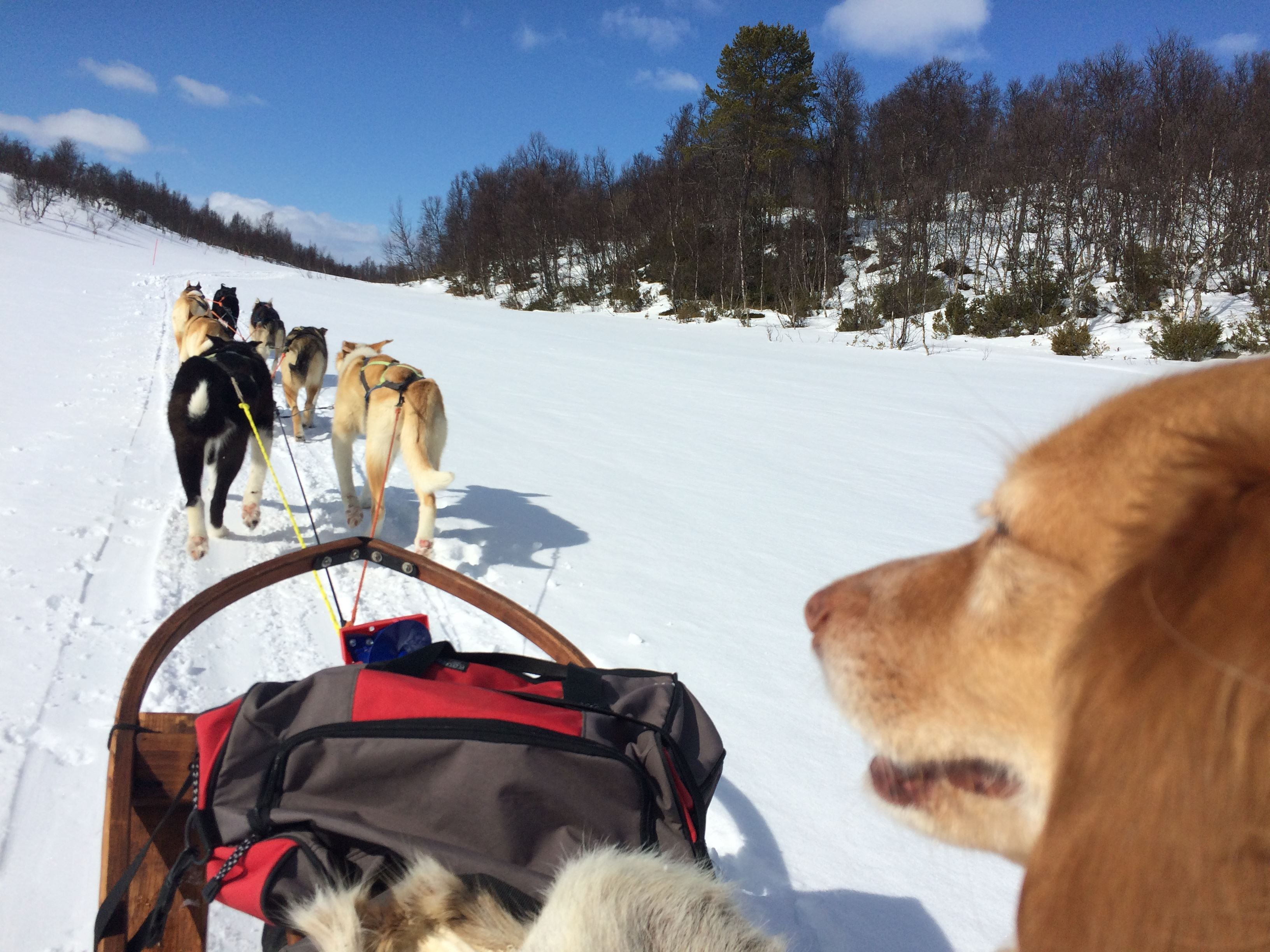 Dog sledging - half day trip without transportation from Roros