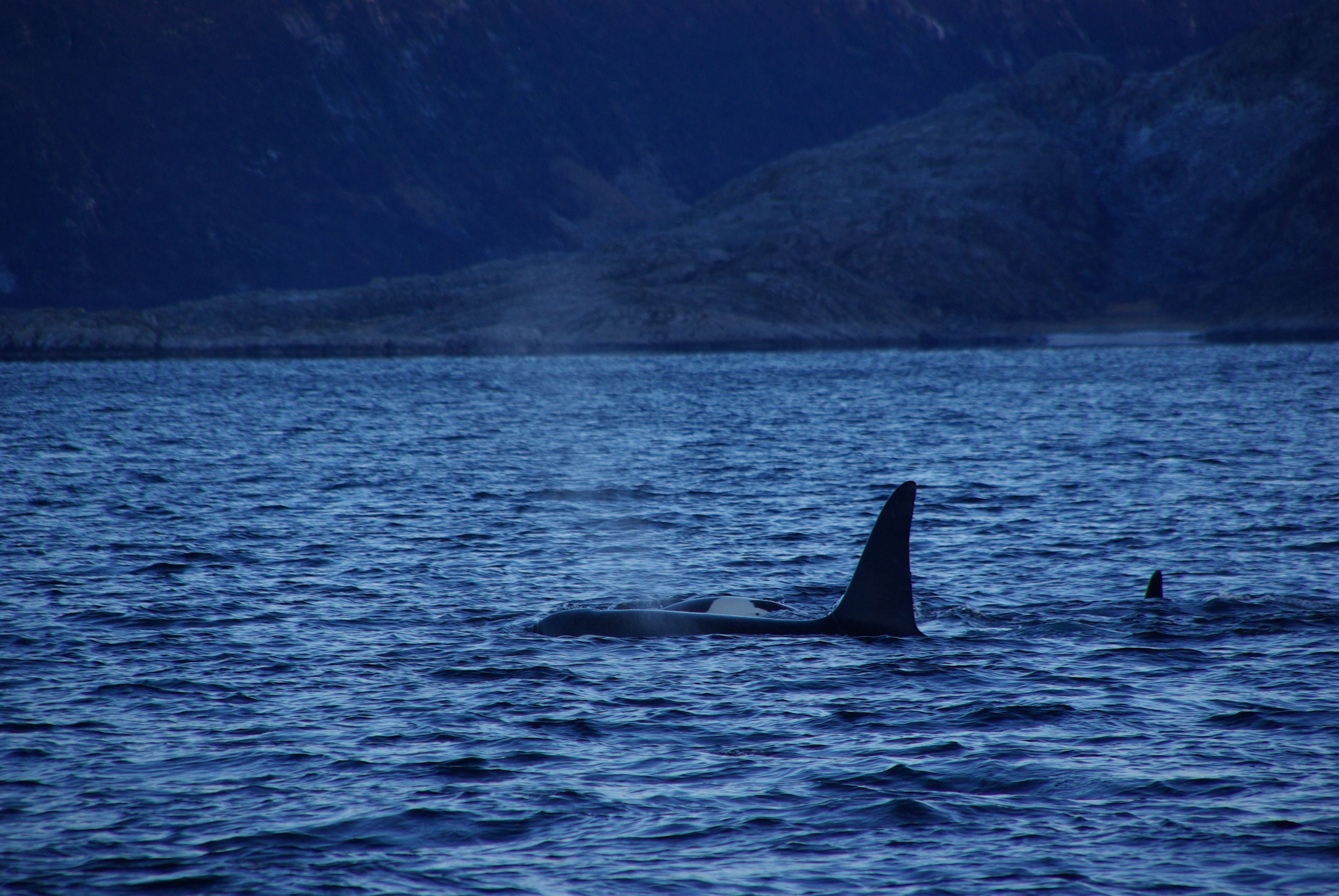 Whale Watching with MS Senjafjell – Solbø Maritime Adventure