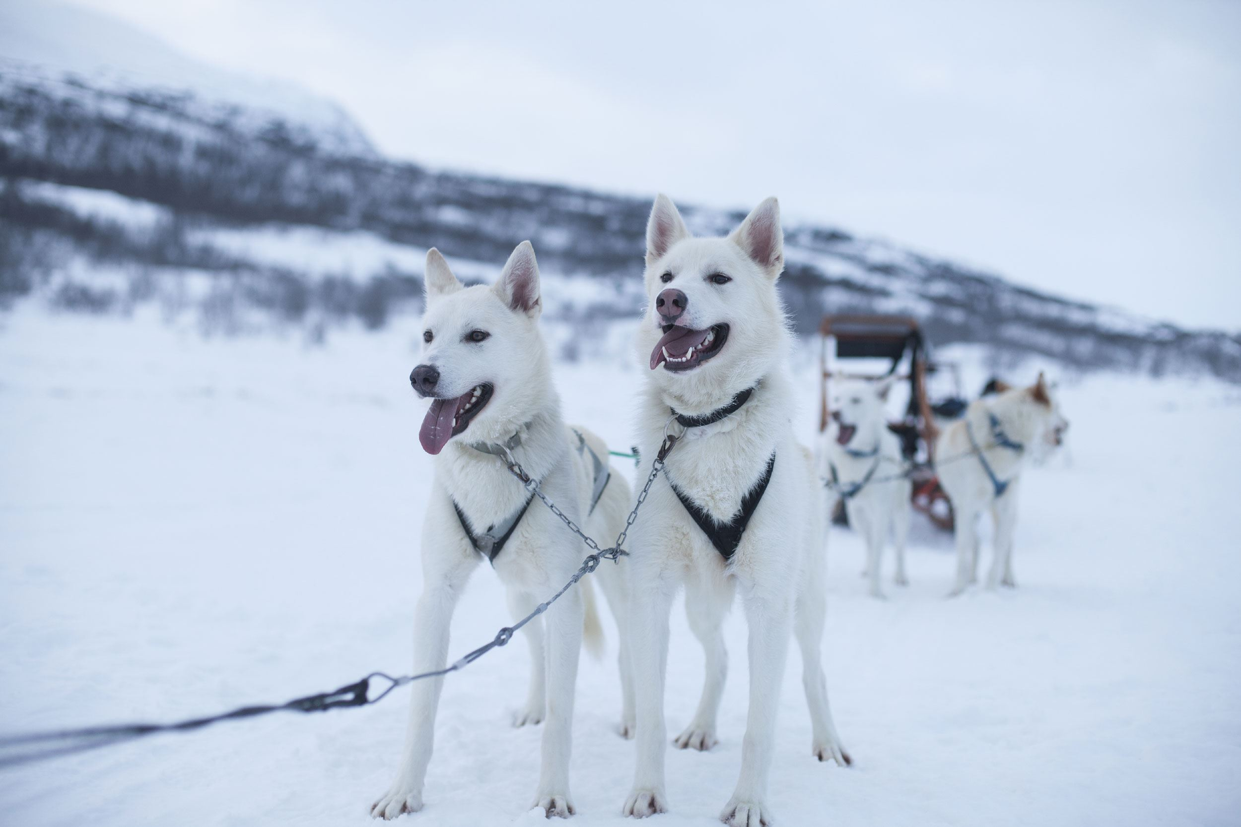 Hundspann med Wild Lapland - Wild and free mushing! (6-8h)