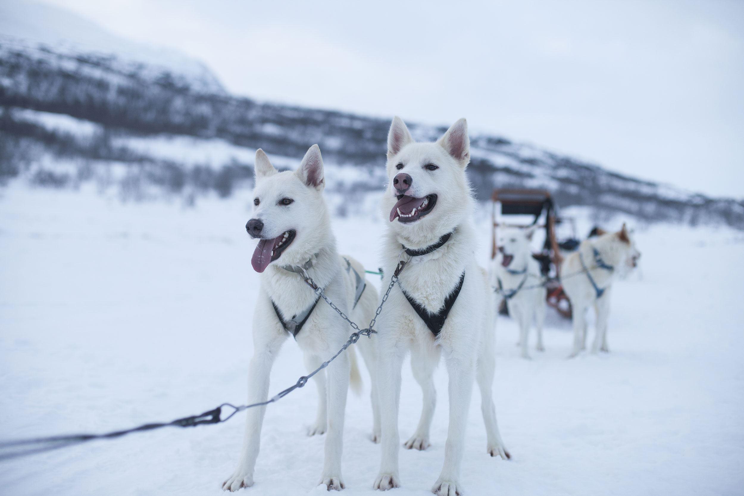 © Wild Lapland, Hundspann med Wild Lapland