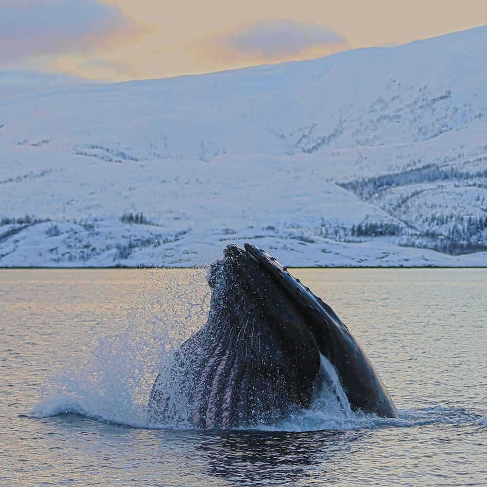 All inclusive hvalsafari – Explore the Arctic