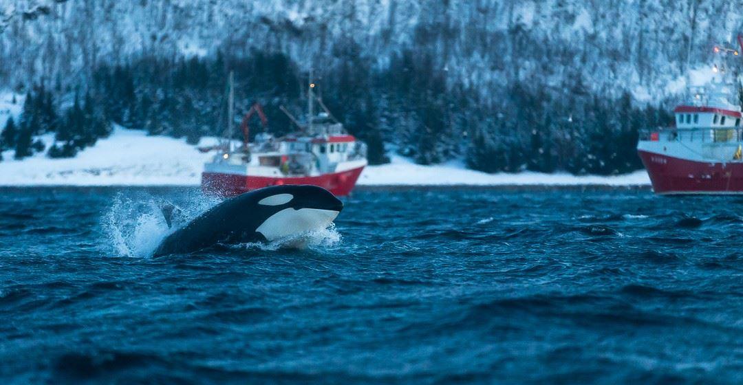 Hvalsafari i Tromsø - Arctic Adventure Norway